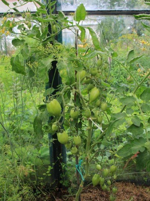 Высокий куст томата с зелеными плодами в теплице на частном участке