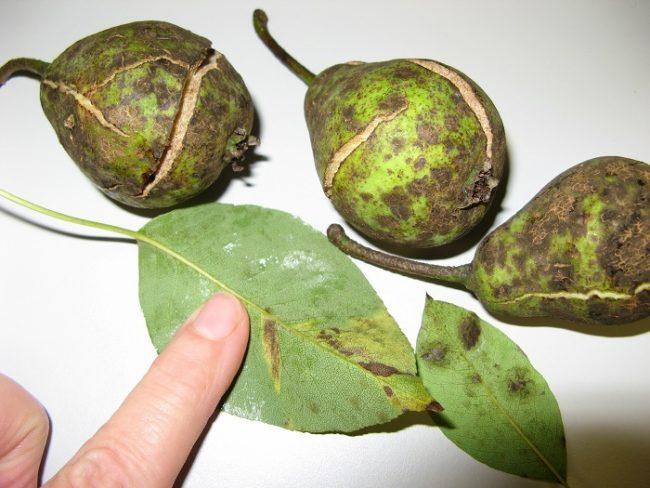 Листья с пятнами и груши с трещинами от парши