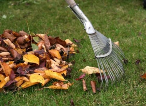 Уборка листьев груши, пораженных паршой