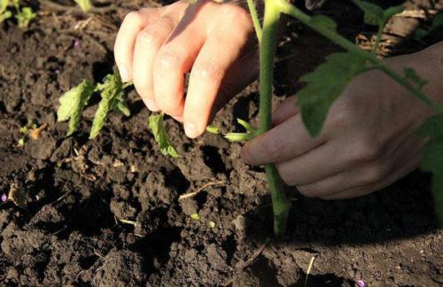 Удаление нижних листьев помидоры для ускорения покраснения плодов