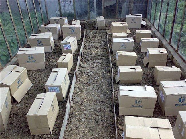 Укрытие рассады томатов коробками накануне возвратных заморозков