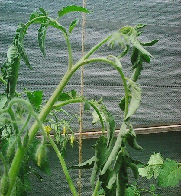 Куст помидоры с увядающими листьями при недостатке влаги