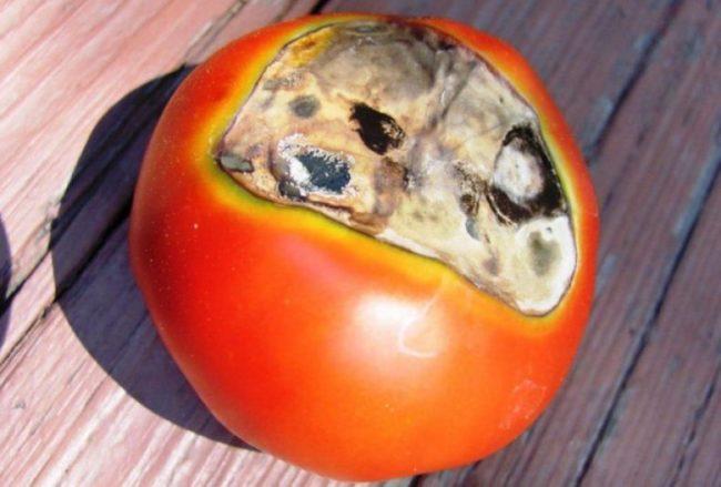 Крупный плод томата с вдавленным пятном серого цвета от вершинной гнили