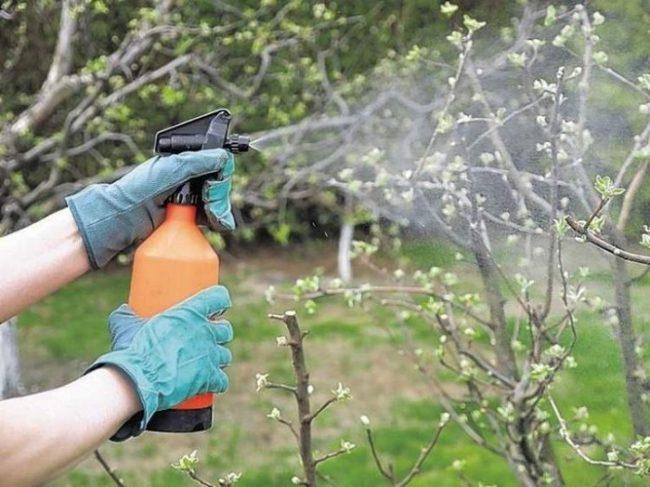Весеннее опрыскивание грушевого дерева для защиты от грибковых инфекций