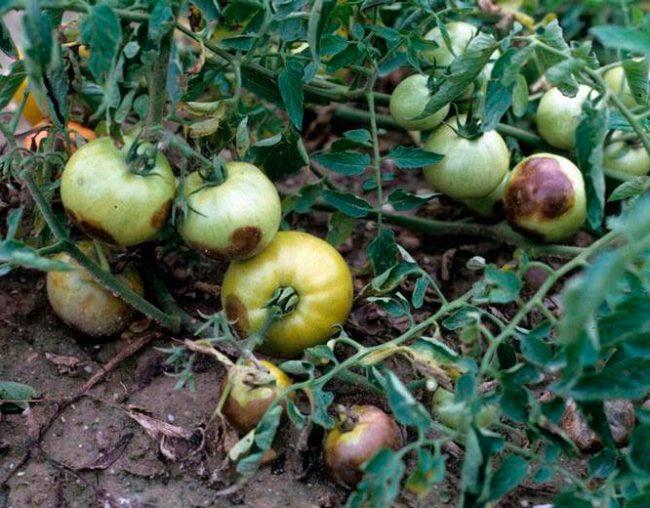 Зеленые помидоры с черно-бурыми пятнами от фитофтороза