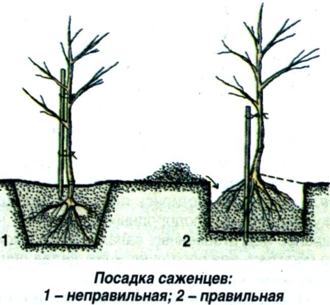 Схема правильного расположения саженца груши в посадочной яме