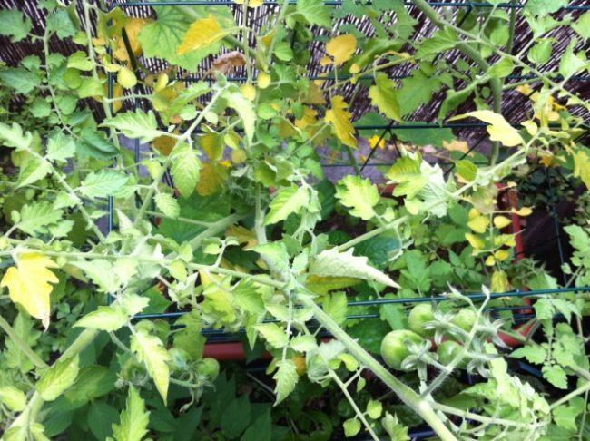 Куст помидоры с признаками недостатка питательных элементов