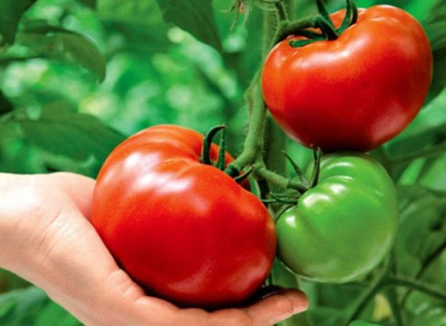 Здоровая помидора после подкормки томата раствором йода