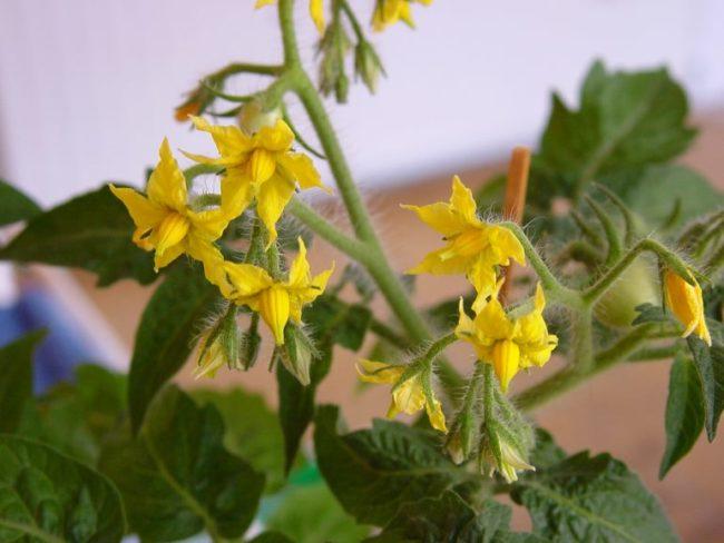 Желтые цветки помидоры крупным планом