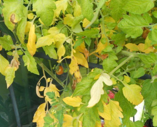 Признаки дефицита азота в питании помидоры