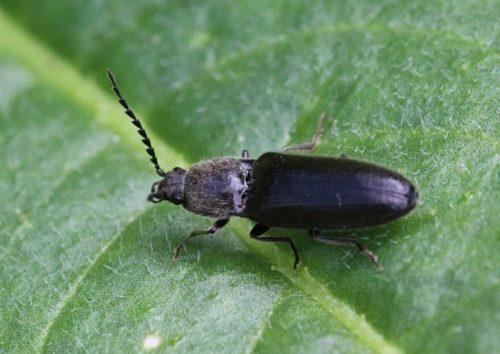Черный жук-щелкун на листе помидоры вблизи