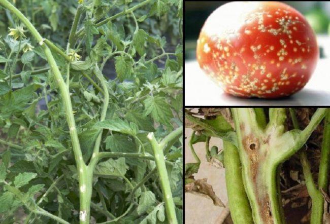Симптомы поражения помидоры бактериальным раком