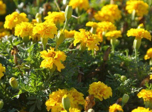 Желтые бархатцы для отпугивания вредных насекомых с огородных посадок