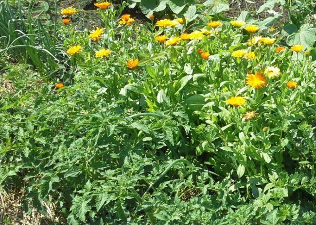 Грядка помидоры рядом с посадками желтых бархатцев
