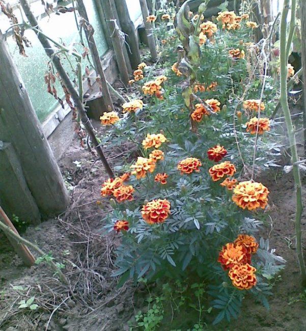 Кусты цветущих бархатцев в теплице с помидорами