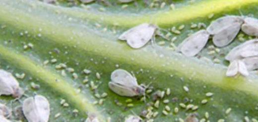Большие полчища белой мошки на листе растения