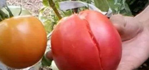 Большая трещина на спелом помидоре