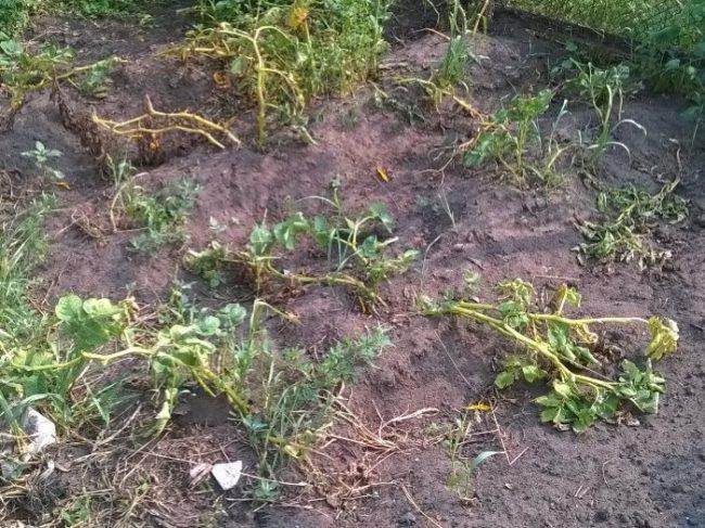 Ботва картофеля на огородной грядке перед уборкой урожая