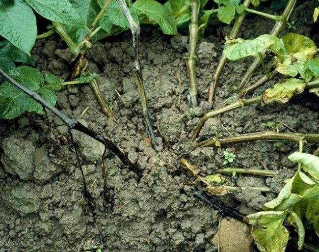 Гниющий куст картофеля с черными стеблями в прикорневой части растения