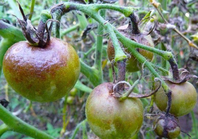 Гнилые плоды томатов с коричневатыми пятнами от фитофторы