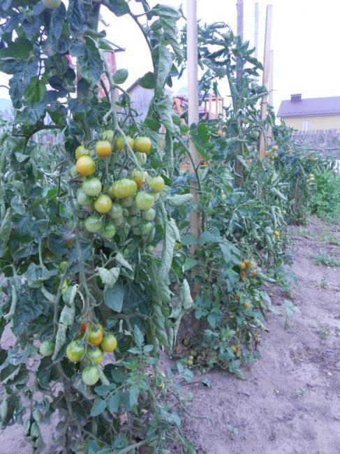 Подвязка помидоры сорта Черри к деревянным опорам