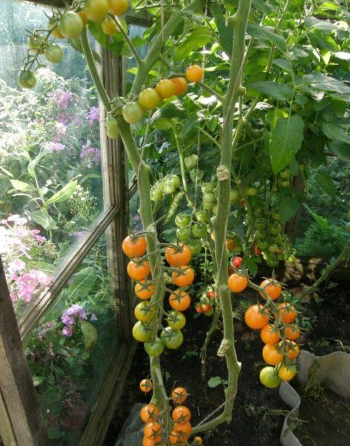 Стебли помидоры Черри с плодами оранжевого цвета в деревянной теплице