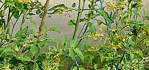 Цветущие кусты помидор в теплице