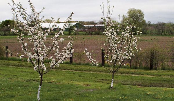 Две молодые яблони в период весеннего цветения