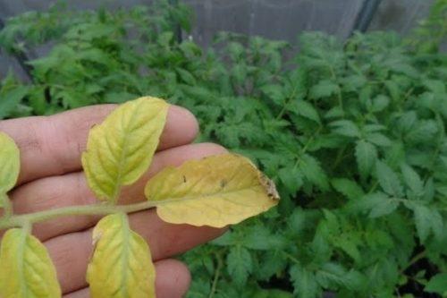 Пожелтевшие листья помидоры с признаками нехватки азота