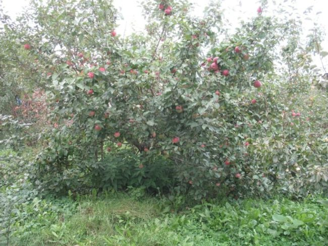Фото молодой яблони сорта Краса Свердловска в период плодоношения