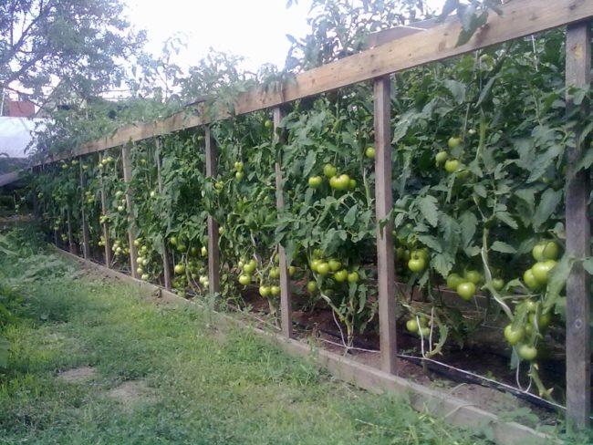 Высокие кусты томатов с зелеными плодами на деревянной шпалере