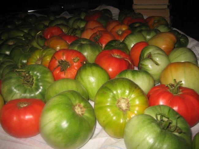 Дозревание зеленых помидоров в домашних условиях