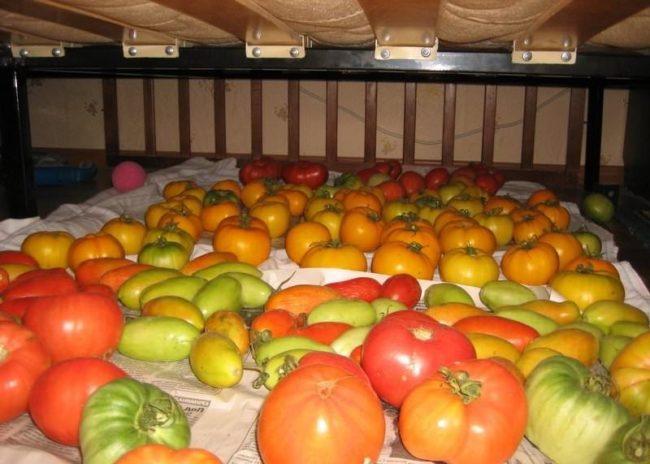 Зеленые и краснеющие помидоры на газетках в затенении
