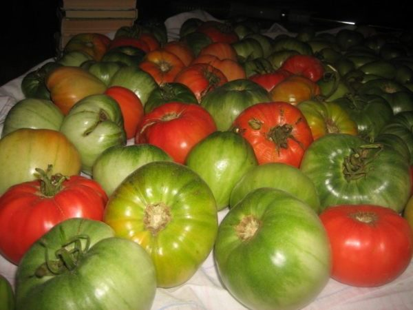 Ускорение дозревания плодов томатов с помощью красных помидор