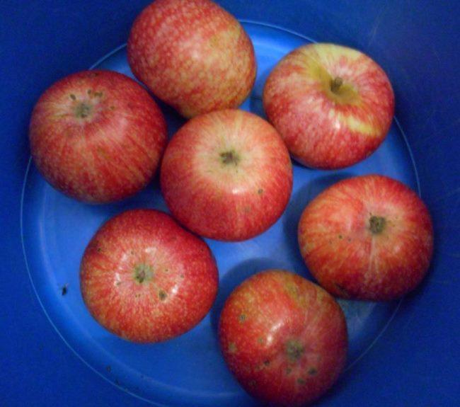 Дозревшие в домашних условиях плоды яблони сорта Лобо