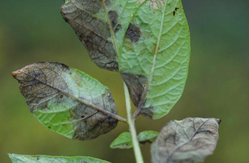 Листья картошки с серо-черными пятнами от поражения фитофторозом