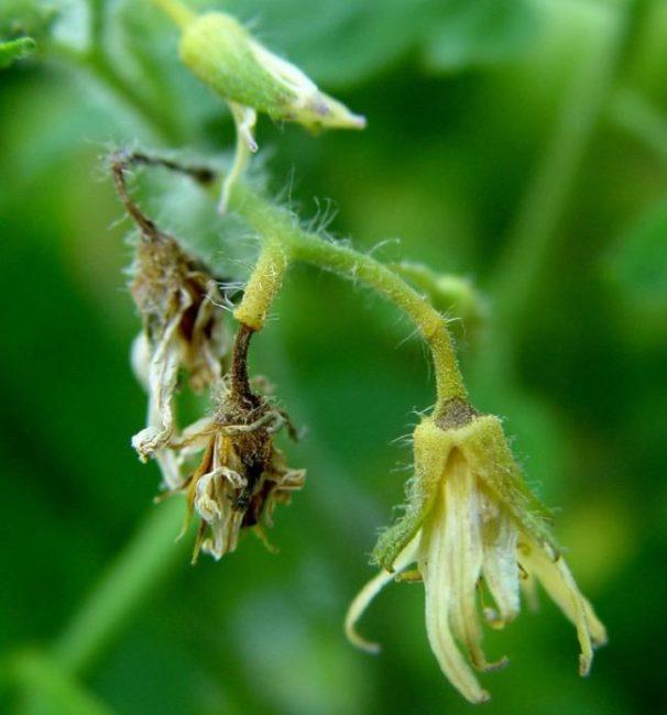 Засыхающие цветки помидоры крупным планом