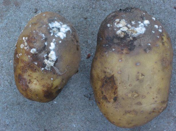 Два клубня картофеля с плесенью и черными пятнами