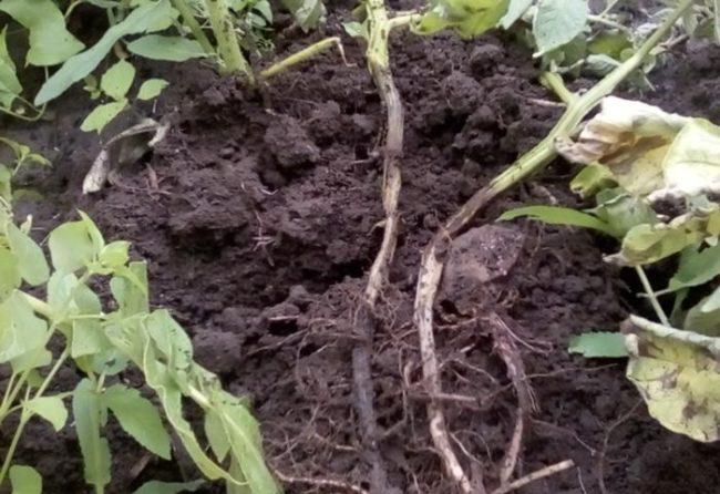Гнилые стебли картофеля на одном кусту большой грядки