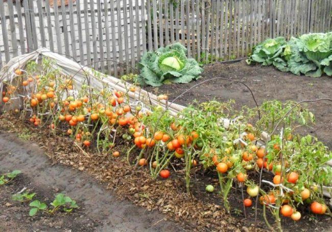 Грядка со спелыми помидорами низкорослого сорта