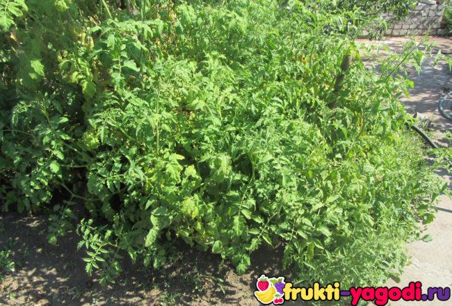 Запущенная посадка помидорного куста на участке