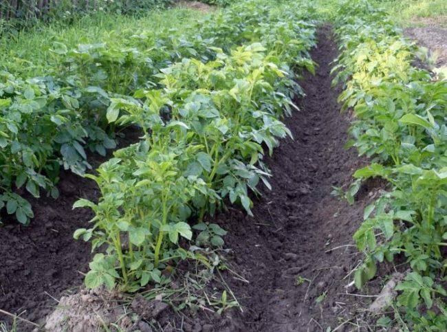 Кусты сортового картофеля средней высоты во время образования клубней