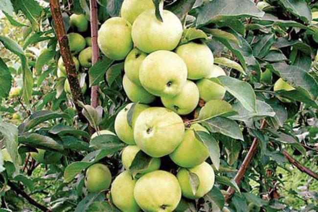 Зеленые яблоки сорта Диалог на ветках взрослого деревца