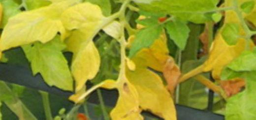 Желтеют листья томата и на заднем фоне спелый плод