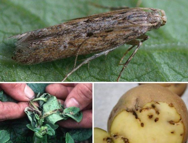 Серо-коричневый мотылек картофельной моли и признаки его появления на картошке