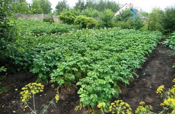 Густая высокая ботва картофеля без цветков в огороде дачного поселка