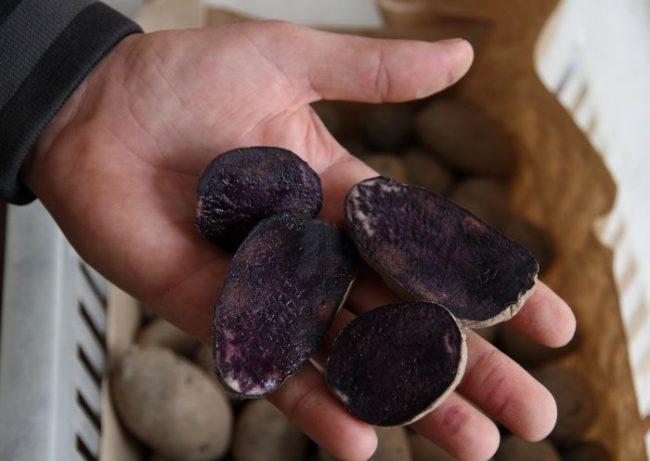 Четыре половинки черного картофеля на ладони огородника