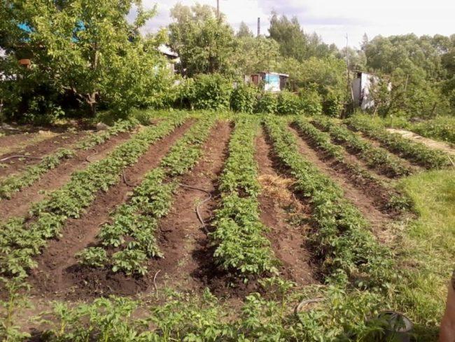 Длинные картофельные грядки на солнечном месте дачного участка