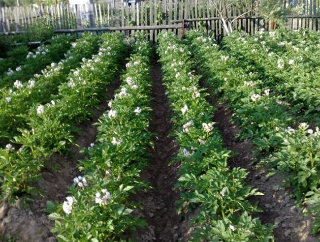 Ровные ряды цветущего картофеля в частном огороде