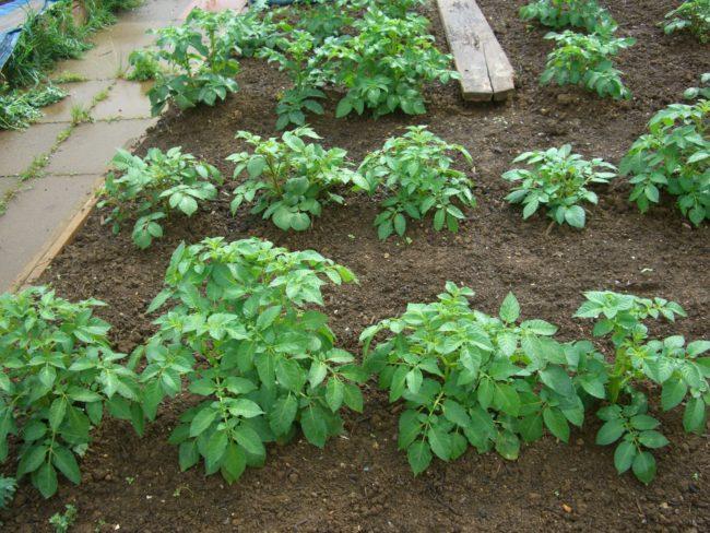 Аккуратные и ухоженные кустики картошки в огороде частного хозяйства